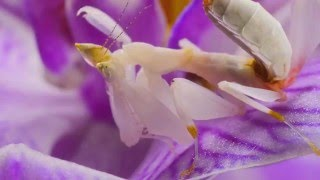 Nov 22, 2014 ... Orchid Mantis: Looks That Kill - Duration: 4:00. It's Okay To Be Smart 103,396 nviews · 4:00. Eaten Alive by a Mantis - Wildlife On One: Enter The...
