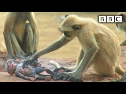 Animatronic spy monkey finds home within Langur monkey colony.