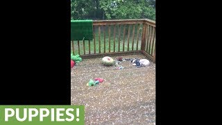 Concerned dog retrieves siblings from hail storm