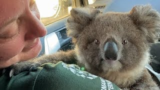 Australia fires: Helping koalas in need by The Humane Society of the United States