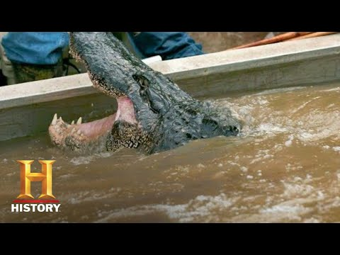 Swamp People: Troy's GIANT GATOR CATCH Ends the Hunt (Season 8) | History