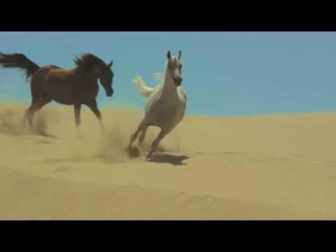 cavallo arabo (il cavallo più bello del mondo)