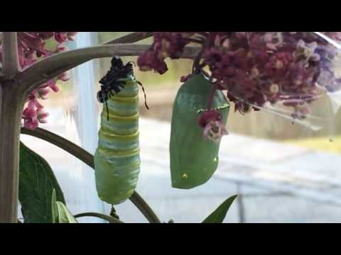 Monarch Caterpillar to Chrysalis Cocoon Process