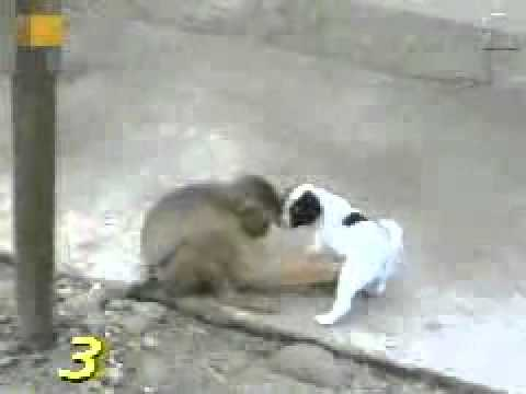 A Monkey Examines the private part of a puppy and laughing on it