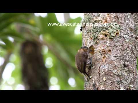 Pica-pau-anão-de-coleira - Cristiano Voitina