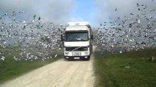 Damn! Never Seen Such Many Pigeons!