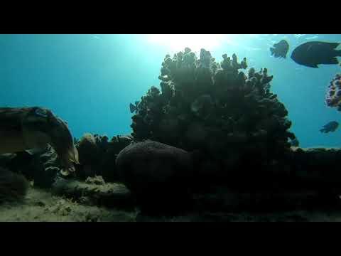 תיעוד תהליך רבייה של נקבת דיונון הדבקת ביצים על אלמוג