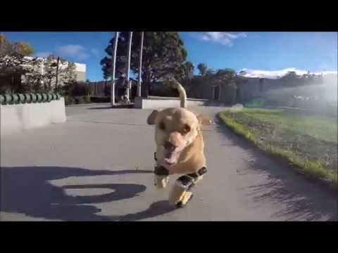 Disabled dog gets prosthetic legs and is able to run for the first time.