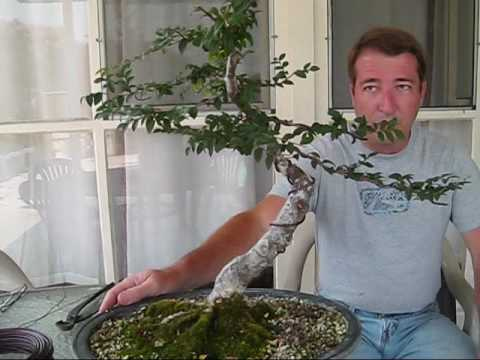 how to fertilize chinese elm bonsai