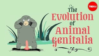 View full lesson: http://ed.ted.com/lessons/the-evolution-of-animal-genitalia-menno-schilthuizen Genitals are the fastest-evolving organs in the animal kingd...