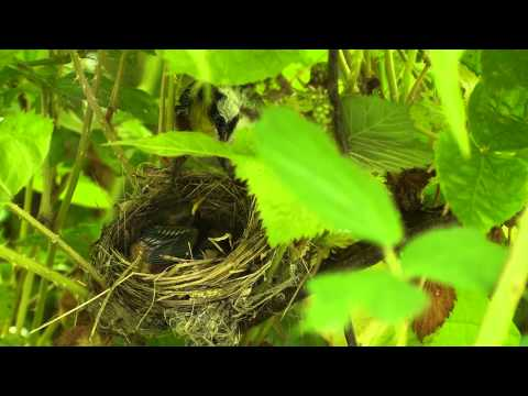Southern West Virginia Chestnut-sided Warbler Nest