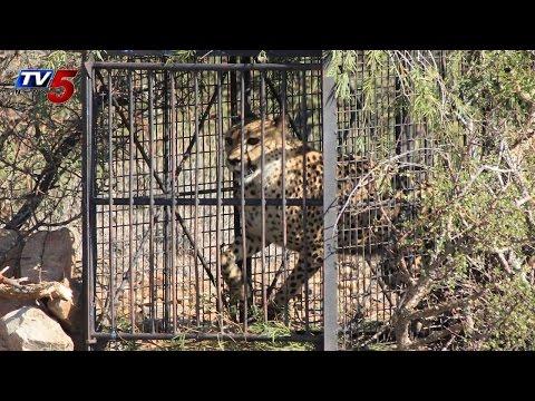 Villagers Caught Cheetah at Kadapa : TV5 News