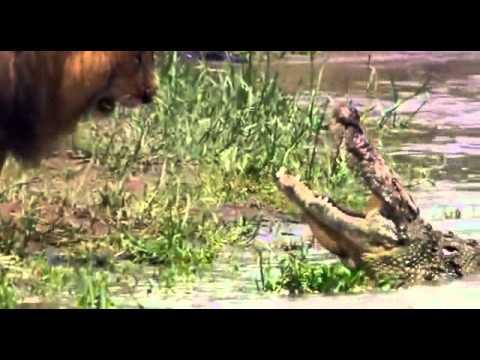 Sư tử thể hiện uy lực với cá sấu