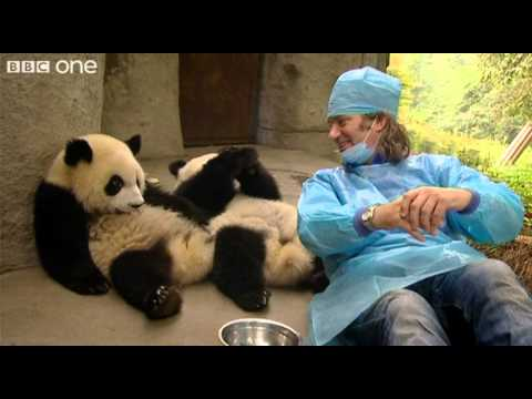 Martin Meets the Panda Cubs - Nature%27s Miracle Babies - Episode One - BBC One