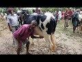 618।কম দামে উন্নত জাতের অনেক গাভি ও বাচ্চা গরুর দাম দেখুন।Top 10 cow videos 2018