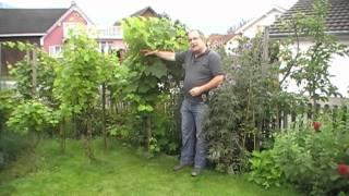 #206 Die einfachste Art Tafeltrauben zu pflanzen