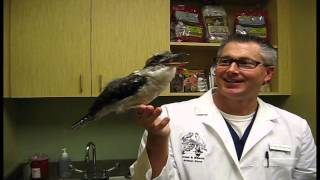 Kookaburra Call - Exotic Pet Vet UNCUT!