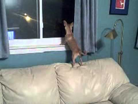 Happy Chihuahuas: More Window Barking