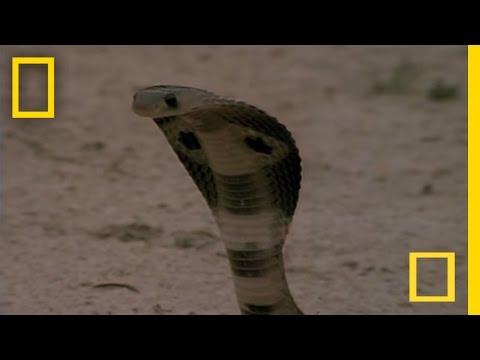 這條眼鏡蛇用了幾分鐘對貓鼬展開猛烈的攻擊,原本節節敗退的貓鼬卻只用一秒鐘就把牠KO!