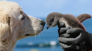 Endangered Penguins Get Help From Surprising Friends by Did You Know Animals?
