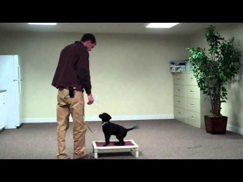 Best Training with 10 week old lab puppy New