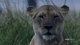 Dynasties: Charm Protects Her Cubs | Saturday, January 19 at 9pm | BBC America