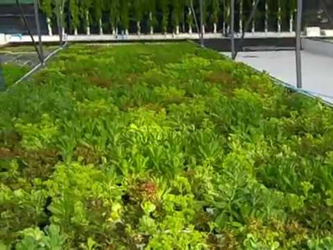 Green Evolution's Aquaponic farm 21.5.2012