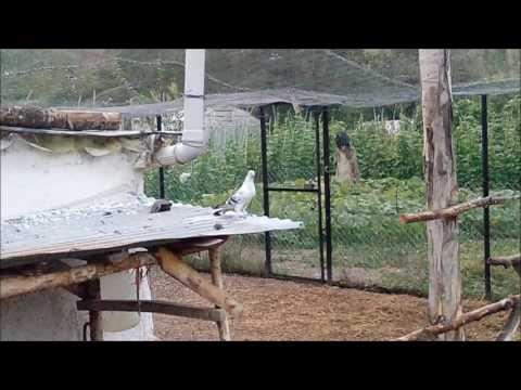Sabuni Taklacı Paçalı Güvercin Aldık