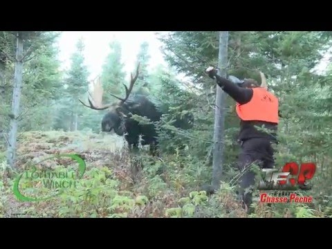 Idiot challenges a bull moose