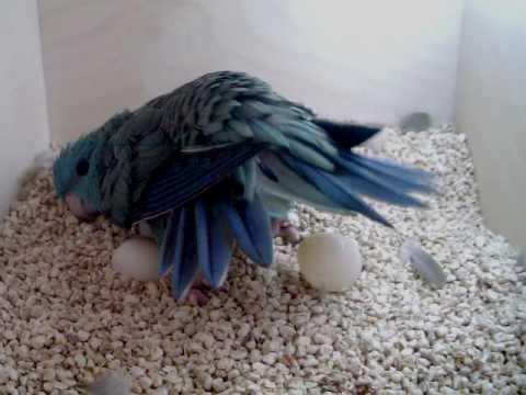 Puesta de huevos de periquito barrado azul