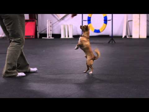 Cute funny dancing chihuahua dog Harley with Trish A.: Twirling Trickster- Talent Hounds