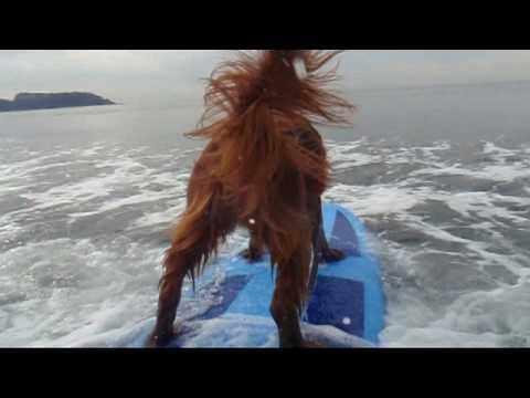 un incredibile cane setter che gioca a fare il surfista