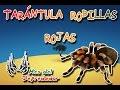 Tarántula rodillas rojas |La tarantula por excelencia| (Animales del Mundo) |Mes del depredador|