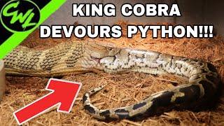 Video KING COBRA EATS FLORIDA PYTHON!!! MP3, 3GP, MP4, WEBM, AVI, FLV April 2019