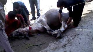 Dangerous Mad Cow Sacrifice on Nov 07, 2011 at Hyderabad, Pakistan