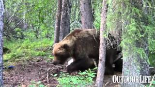 Video Video: Way Too Close to a Grizzly, Pt. 2 MP3, 3GP, MP4, WEBM, AVI, FLV Mei 2017