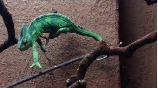 አስገራሚውን እንሰሳ እስስት ለመጀመሪያ ጊዜ አየሁ!  እናንተስ? chameleon