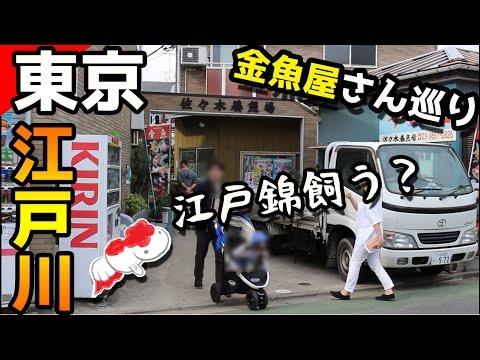 [金魚3大養殖地]江戸川佐々木養魚場に行ったら飼いたくなるよ江戸錦!