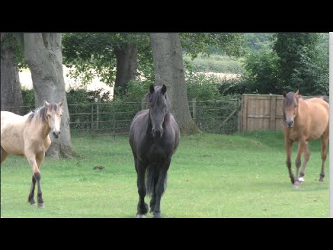 Friesian horse is herd leader.  A day in the life of our Friesian, Arabian and Andalusian Horses