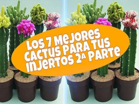 Mejores variedades de cactus para hacer injertos plantas for Variedades de cactus