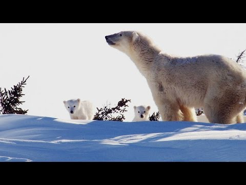 Polar Bear Cubs See The World For First Time