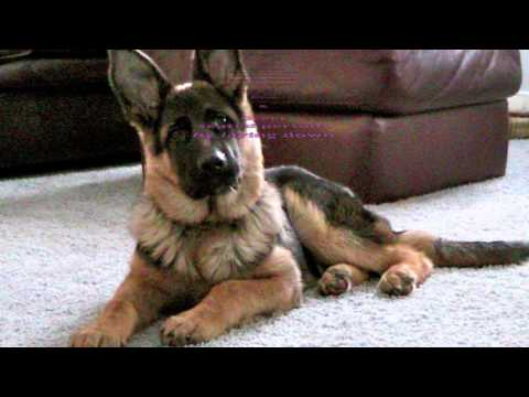 Dog Training | Board and Train | Michigan | German Shepherd | Rocky