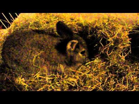 ons konijntje anubisje maakt een nestje maar is niet zwanger