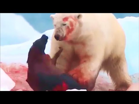 Polar Bear On The Hunt And Eating A Seal Alive...!