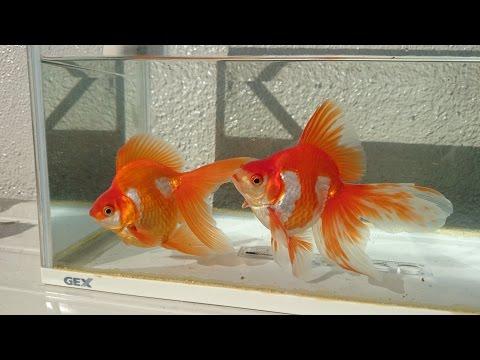 カリスマブリーダー 古澤氏 血統魚 琉金 2歳 ryukin goldfish