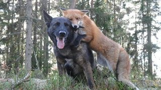 Meet The Best Friends That Are A Real-Life 'Fox And The Hound' by Did You Know Animals?