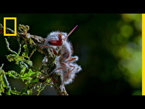 'Zombie' Parasite Takes Over Insects Through Mind Control | National Geographic