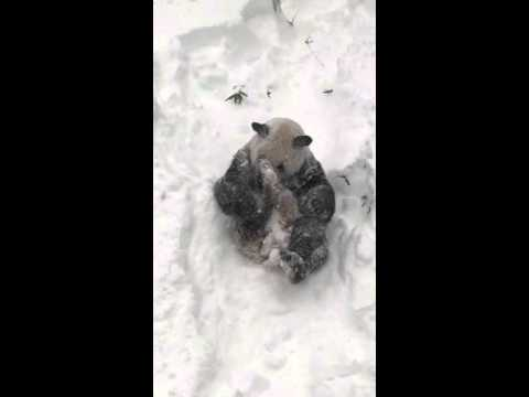 Panda Has Fun Frolicking in Fresh Snow