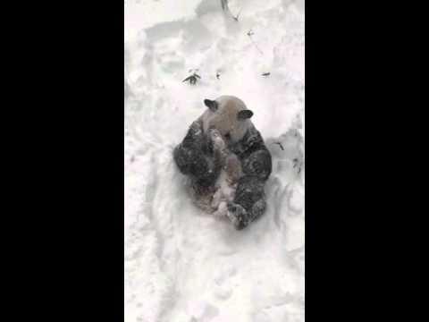Panda Has Fun Frolicking in Fresh Snow