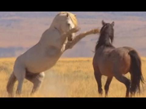 A luta por território dos cavalos selvagens - América do Norte: Born To Be Wild (видео)
